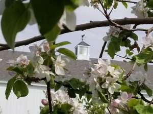 trees in bloom with barn cupola in the background