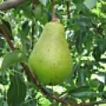Clapps Favorite pear